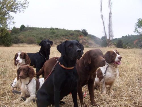 perros-caza-menor