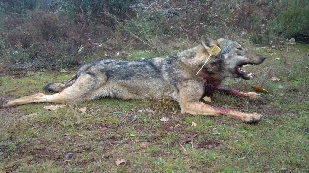 lobo cazalastmoment 2016